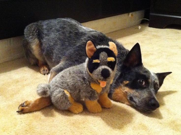 Stuffed animals, Animals and Australian cattle dog on