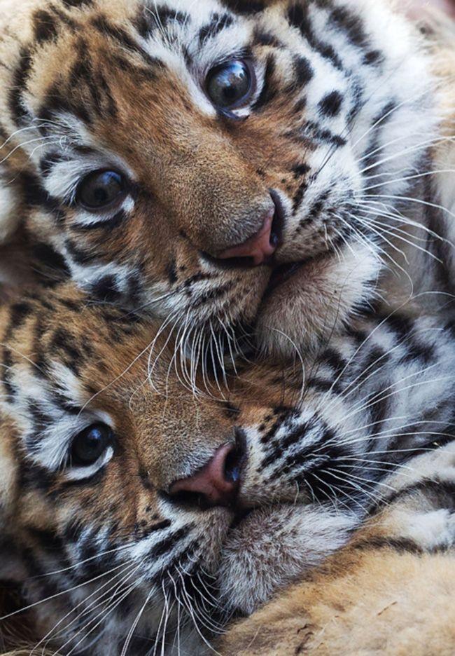 Two young cuties Cutenimals Pinterest Tiger cub