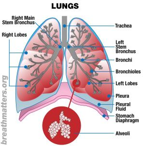 Lung Anatomy Diagram | What is COPD? | Breath Matters