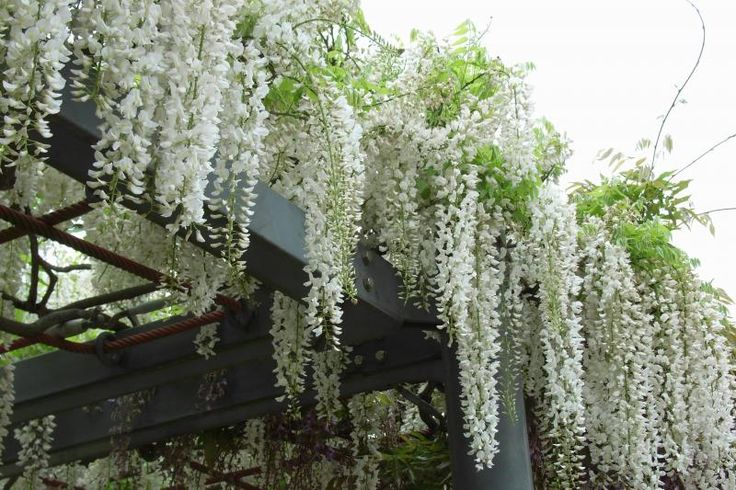 White Wisteria We Can Grow Bougainvillea Not Sure About