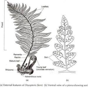 sori diagram  Google Search | Experimental Horticulture