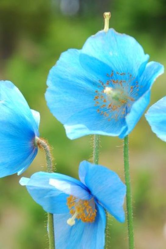 blue in the garden is a rare find! Meconopsis / Blue poppy: