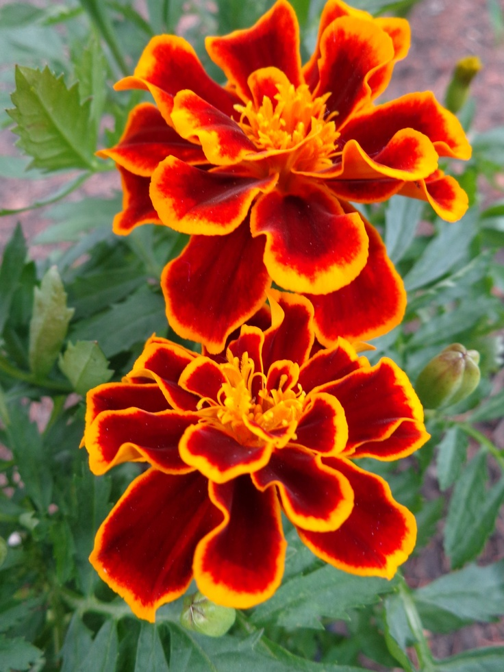 Marigold Garden Lovelies Pinterest October flowers