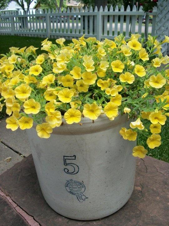 Yellow Geraniums Garden Pinterest