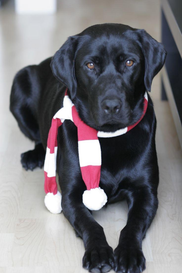 Best 20 Black Labrador Ideas On Pinterest Black