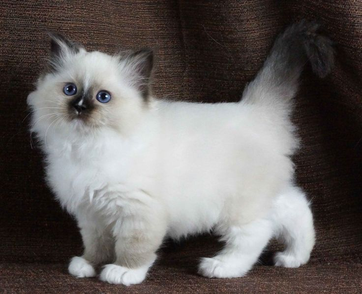 Seal Mitted Female With Blaze 85 Weeks Cute Cats And
