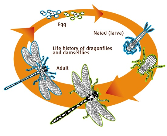 damselflies life cycles and life on pinterest