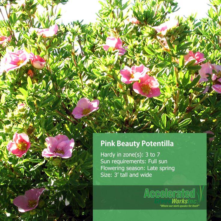 Pink Beauty Potentilla Shrubs Pinterest Pink and Beauty