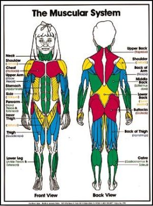 Muscular system, Muscular system for kids and For kids on