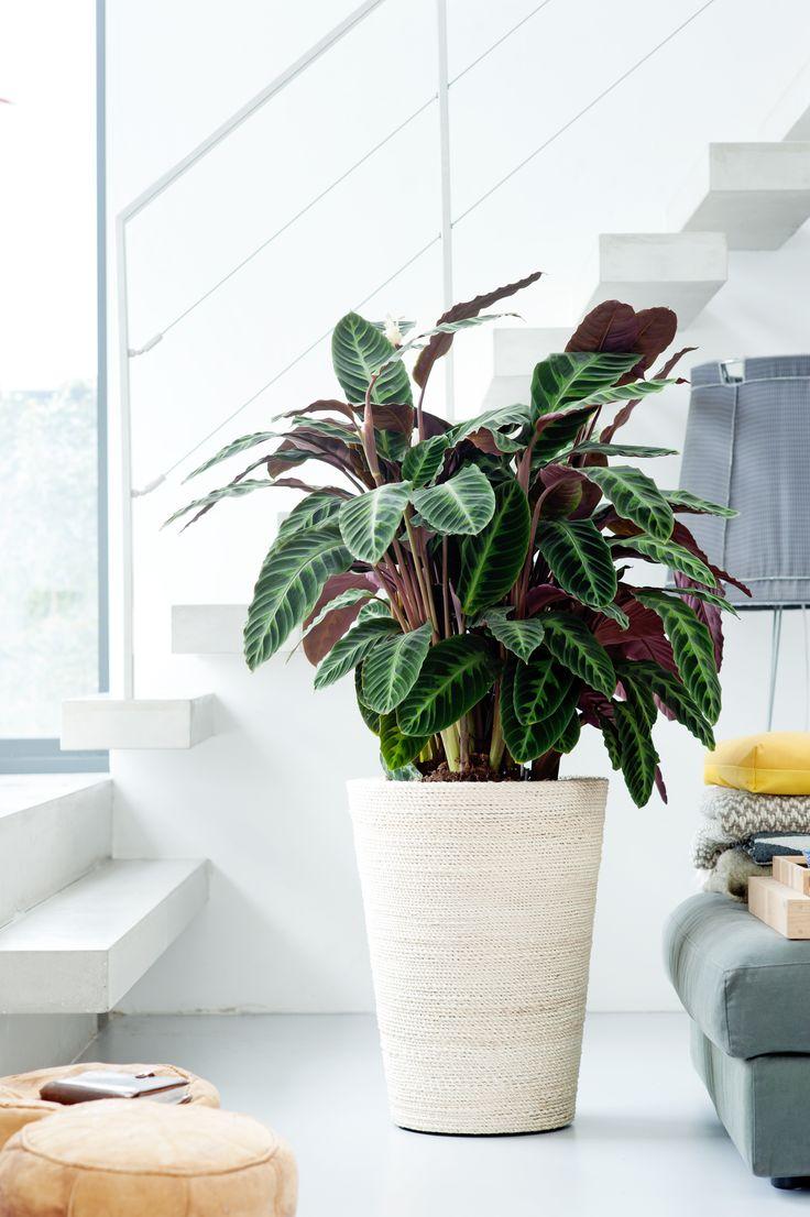 A Calathea houseplant in the home &CALATHEA Pinterest