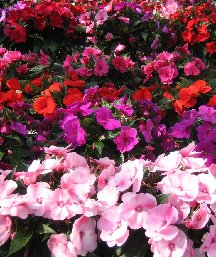 New Guinea Impatiens My Favourite Garden Pinterest