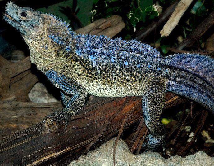Hydrosaurus pustulatus Lizards Pinterest Philippines