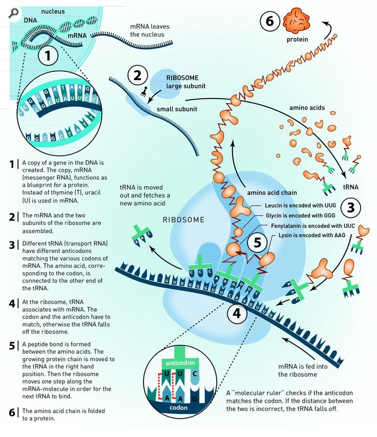 Translation DNA to mRNA to Protein Infographic All