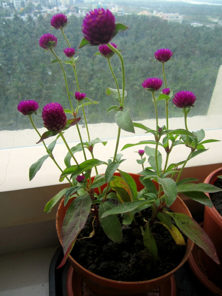 Vadamalli pot in our garden Green Thumb Pinterest