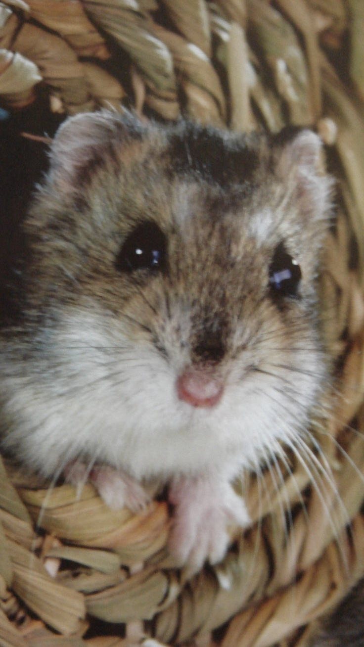 Top 25 Ideas About Cute Gerbils On Pinterest Wake Up