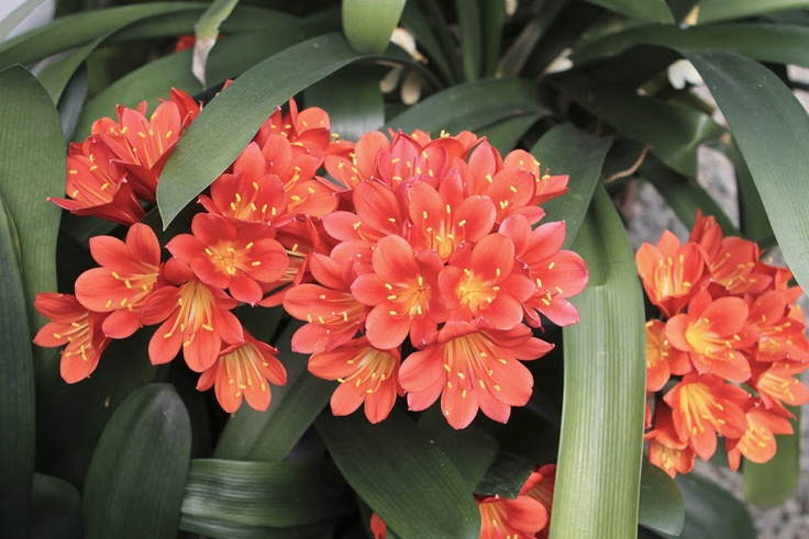 Clivia is a genus of durable shade plants in the Amaryllis