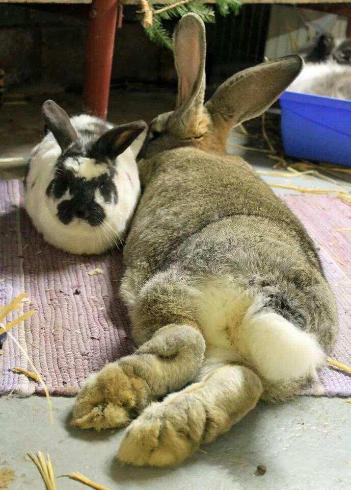 17 Best Images About Flemish Giantsgiant Rabbits On