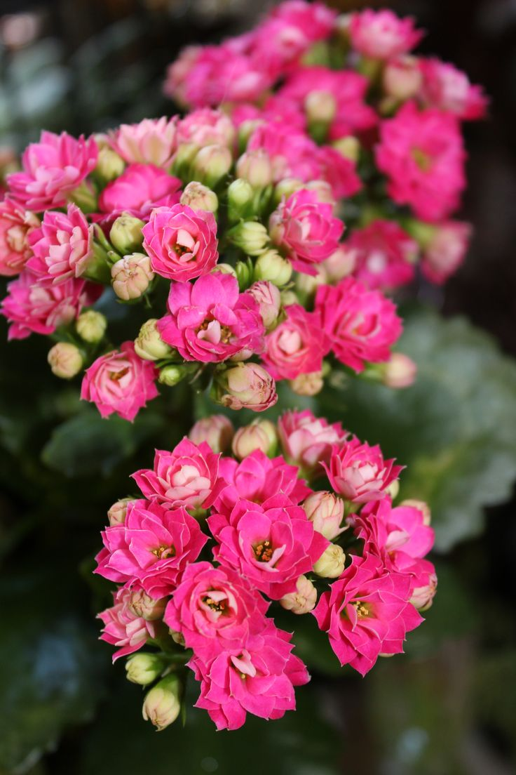 Blooming Kalanchoe Care Plants Pinterest Plants and