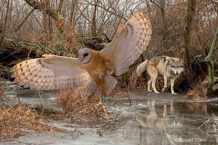 Wolf and barn owl Beautiful creatures Pinterest