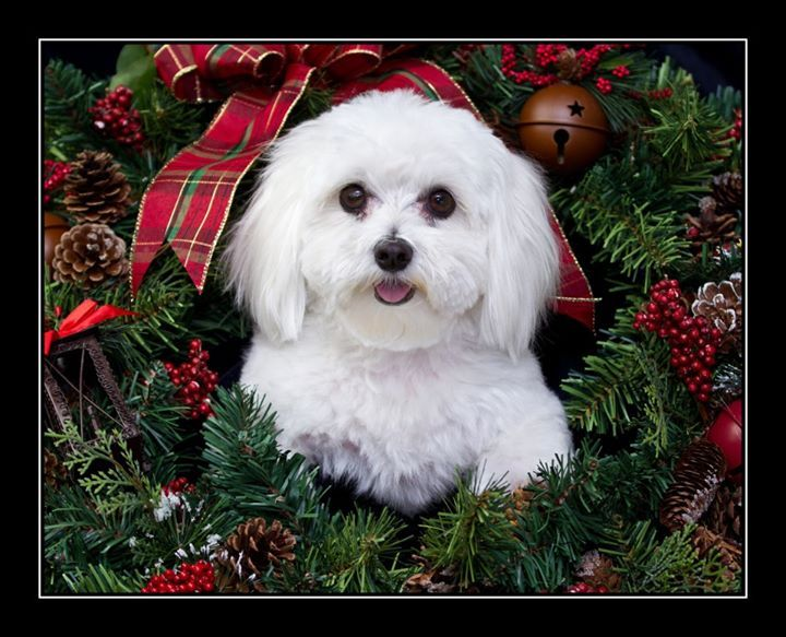 88 Best Images About Maltese On Pinterest Happy Puppy