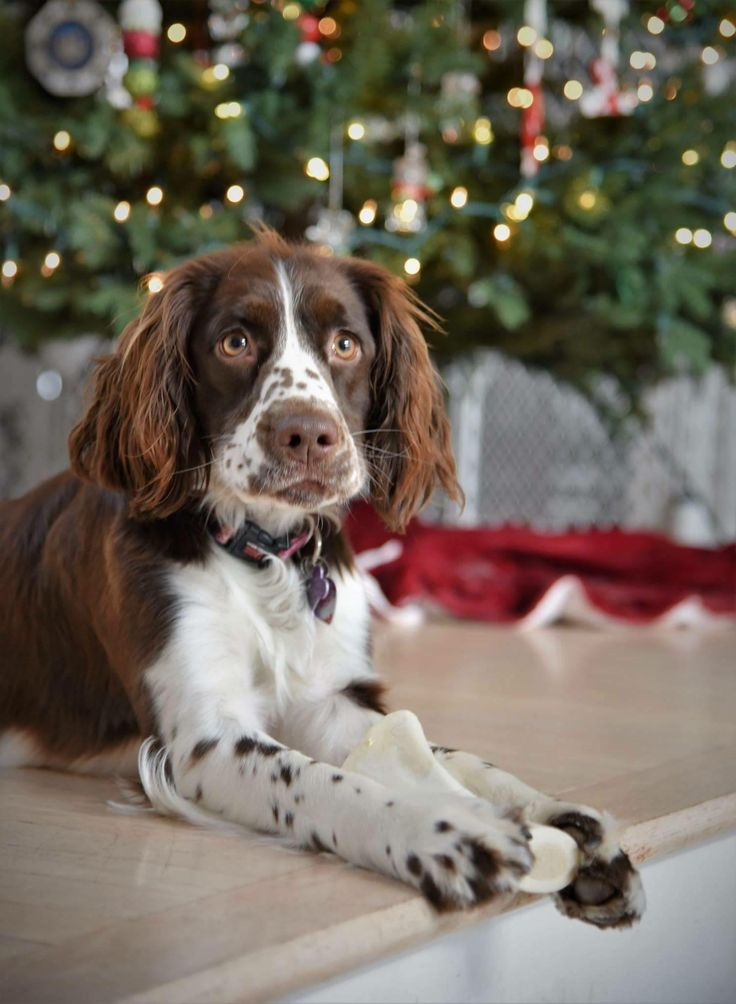 1000 Ideas About Spaniels On Pinterest Spaniel Puppies