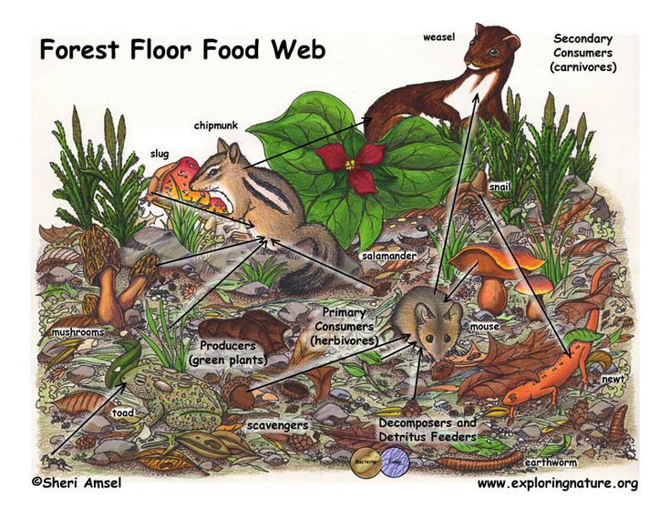 Forest Floor Food Web Food Web Deciduous Forest