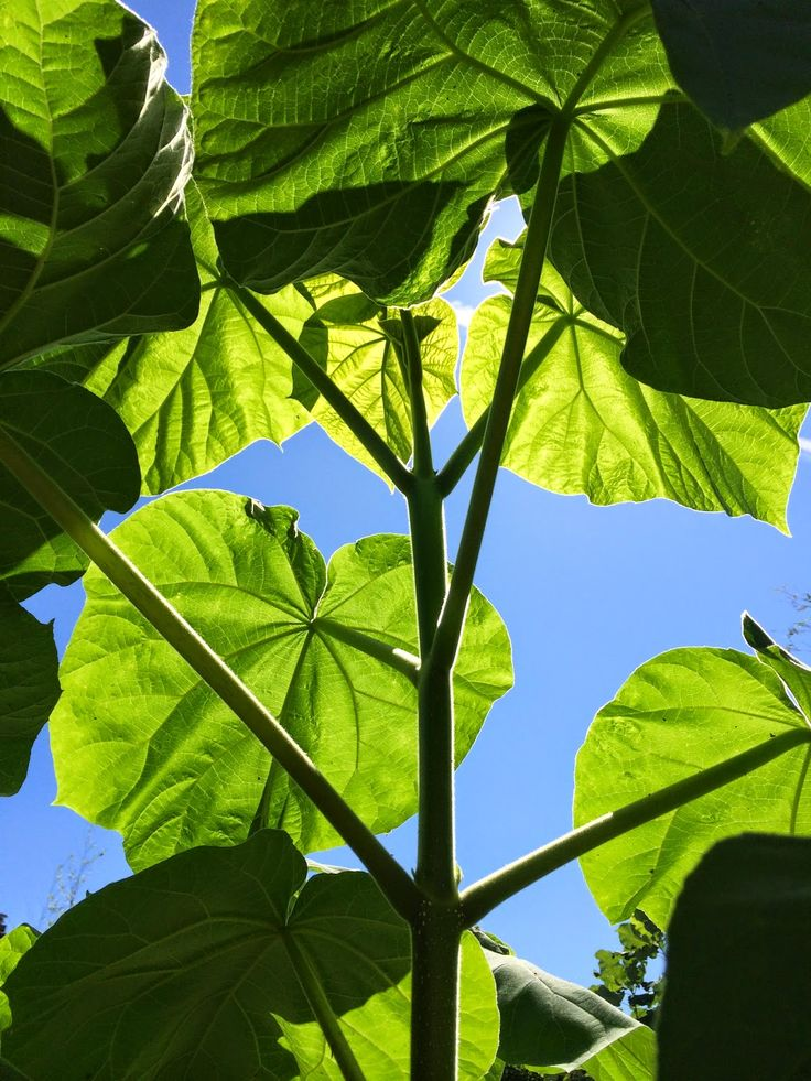 Paulownia tomentosa fast growing, huge leaves, can be