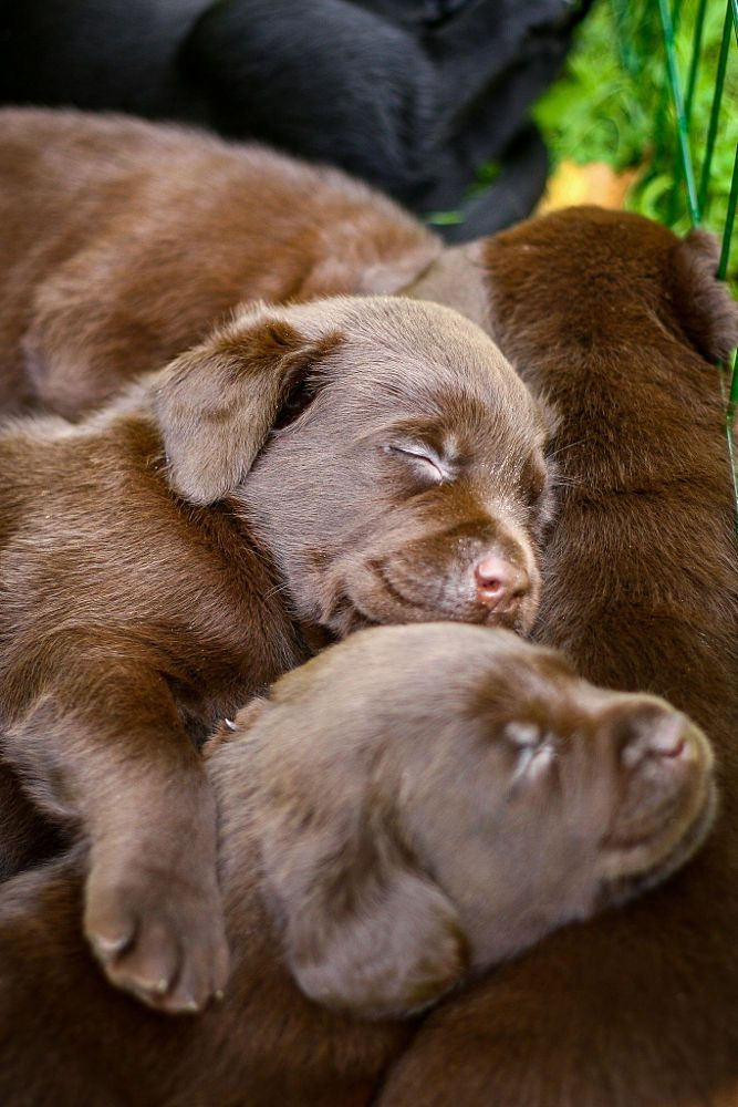 1000 Ideas About Chocolate Lab Puppies On Pinterest