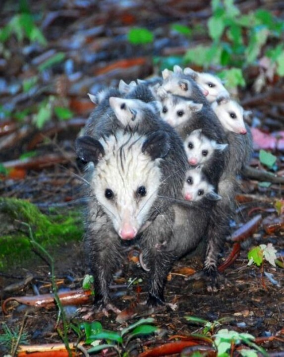 Opossum & her litter. Opossums have been around since the