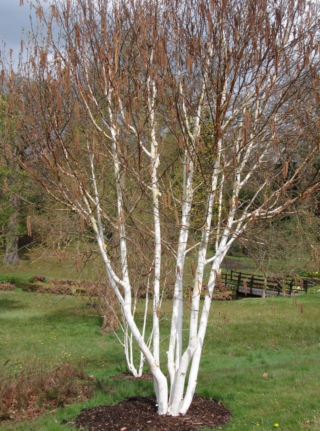 Multi stemmed birch pretty tree for mid lawn Landscape