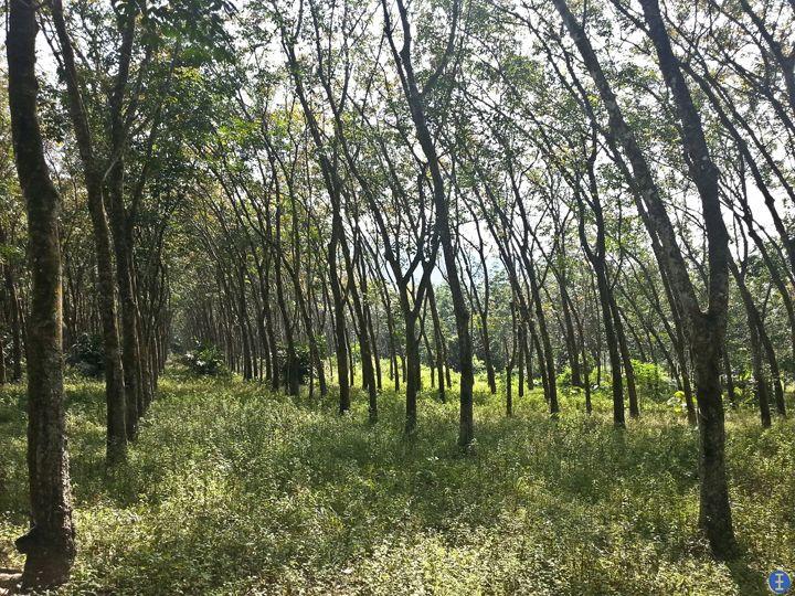 Rubber Plantation in Kelantan, Malaysia Malaysia