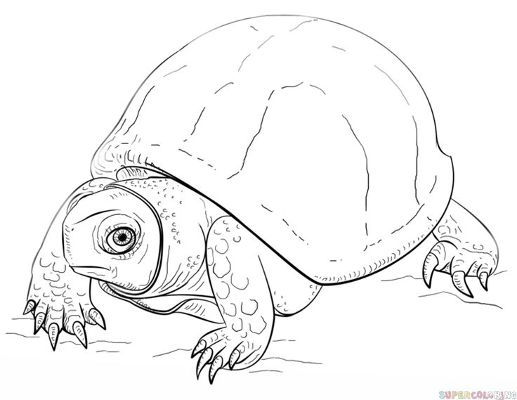 How To Draw An Ornate Box Turtle Step By Step Drawing