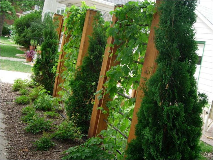 17 Best Images About Yard Privacy Fence/plant Etc Ideas