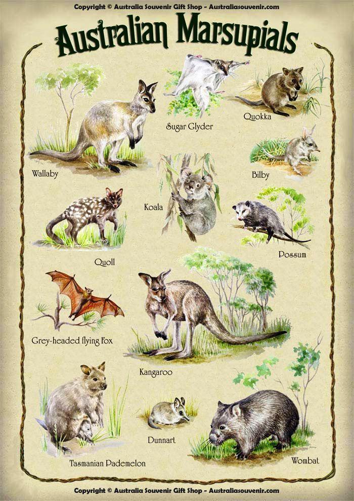 AUSTRALIAN MARSUPIAL CHART. Biologia Pinterest