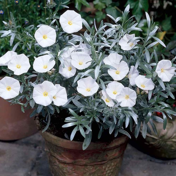 An evergreen with silky silver/grey foliage. Flowers have