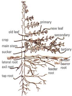 Diagram showing parts of the coffee plant   Organic Coffee   Pinterest   Cherries, The coffee