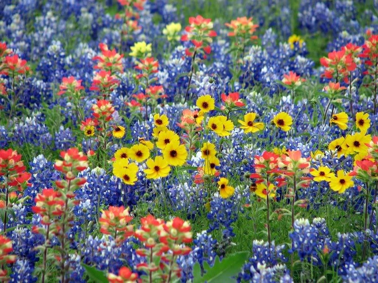 Texas wildflowers........can't wait Beautiful Nature
