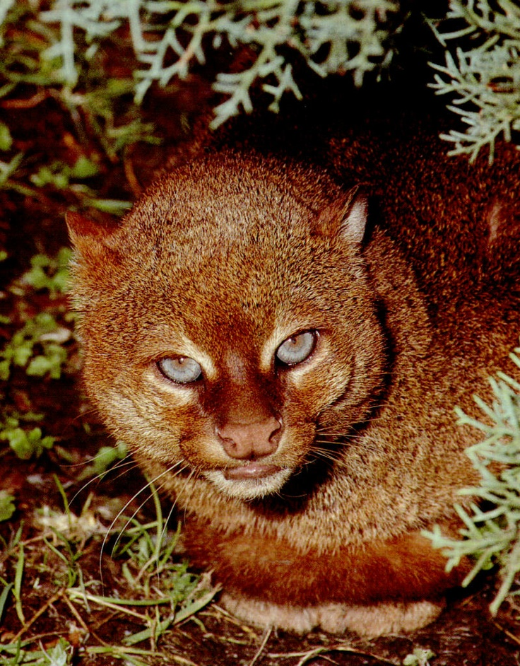The jaguarundi is a smallsized wild cat native to Central