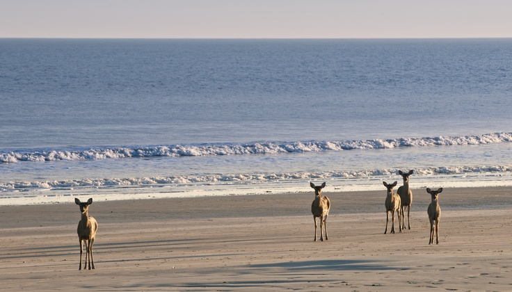 Deer on the beach Kiawah Island Wildlife sightings on
