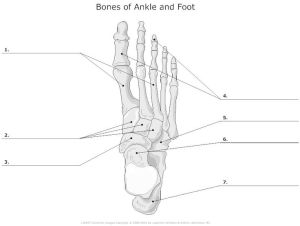 Bones of Ankle and Foot Unlabeled | college life