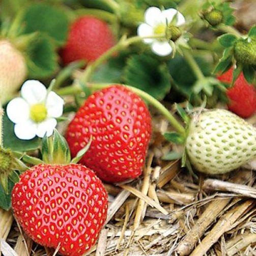 Le varietà di fragole più frequentemente coltivate sono due: le cosiddette unifere che producono i frutti una sola volta in primavera e le bifere che hanno un produzione maggiore