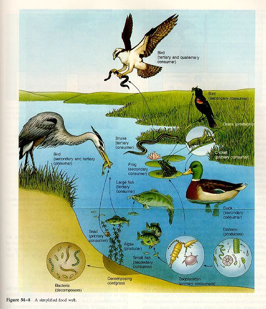 Fresh Water Food Web Science Pinterest Teaching