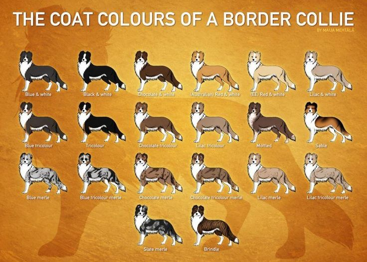 Border Collie Color Chart Dog Pinterest Border