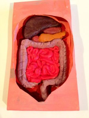 The digestive system  cardboard and play dough www
