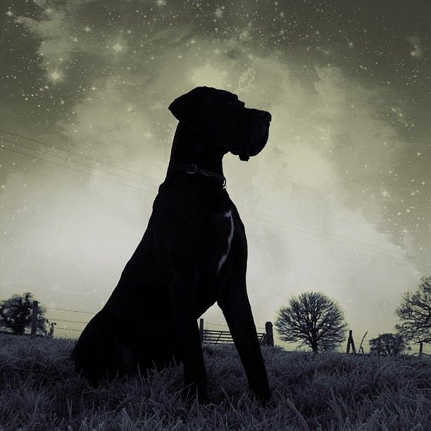 1000 Images About GREAT DANES On Pinterest Harlequin