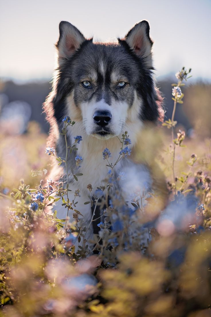 17 Best Ideas About Wolf Photography On Pinterest Wolf