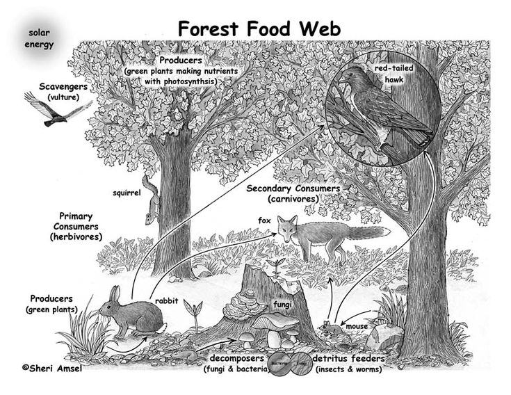 boreal forest food pyramid Google Search Interesting