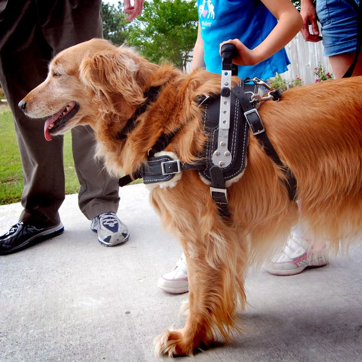 Mobility Support Harness for service dog on golden