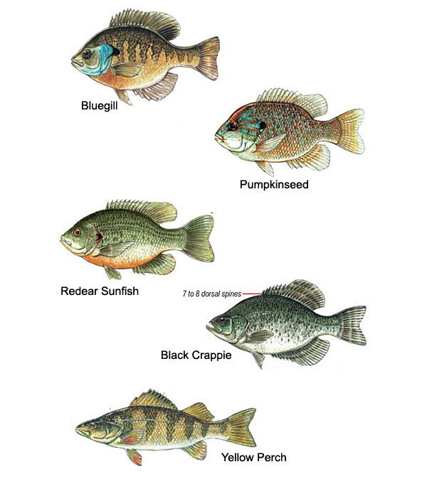 Panfish Identification Chart