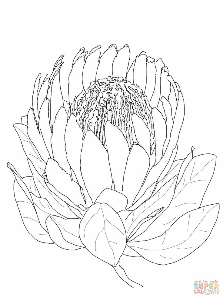protea flower coloring page jpg 1200 1600 proteas painting pretty